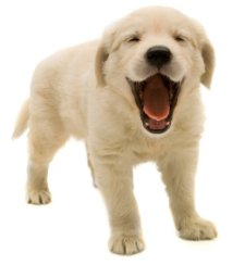 Dog is Happy